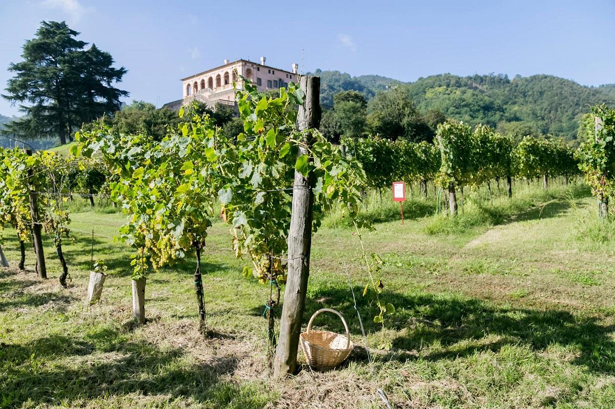 vendemmia, villa dei vescovi, autunno, uva, vino